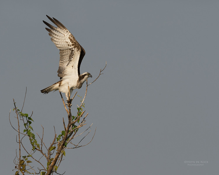 Western Osprey, Chobe River, NAM, Oct 2016-2.jpg