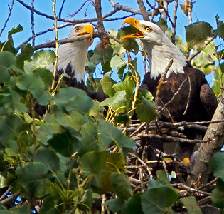 Bald & Golden Eagles