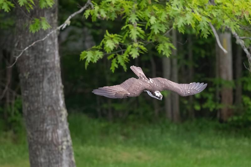 #1628 Osprey