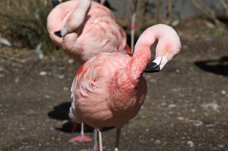Flamingo 230mm F8 -2652.JPG