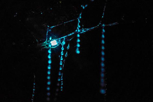 Glow worms at Nichols Creek