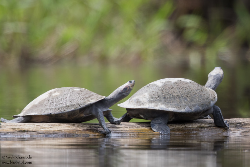 Unidentified Turtles - Amazon, Ecuador