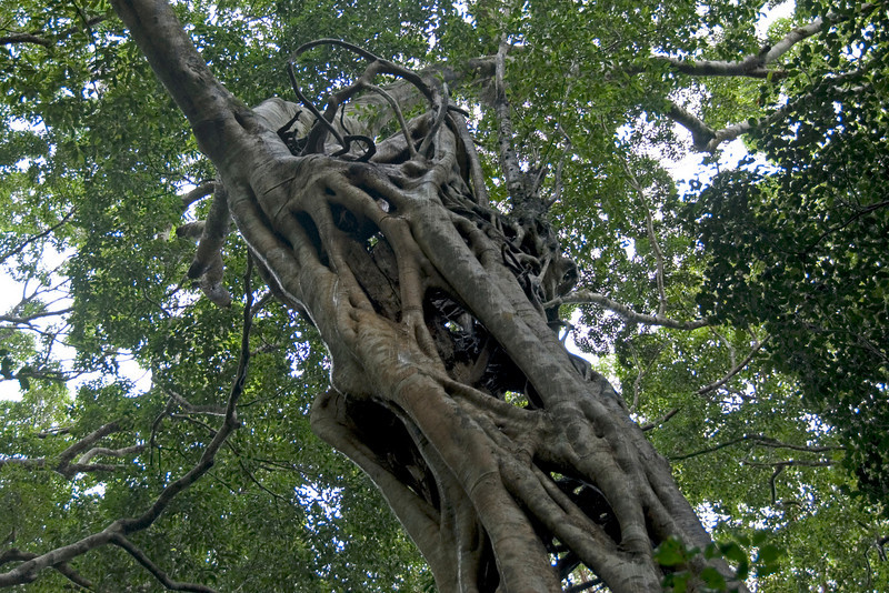 Strangling Fig Tree, Fraser Island - Queensland, Australia
