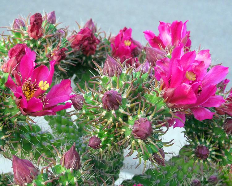 Cactus in Bloom - Judith Sparhawk