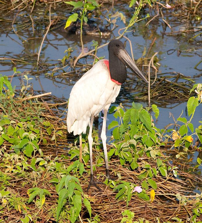 Jabiru Stork Pant_06-08-16_0016