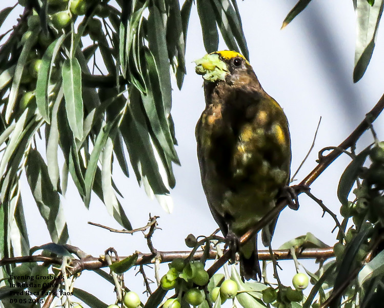 IMG_8550 3T crp Evening Grosbeak Russian Olive Fred Baca.jpg