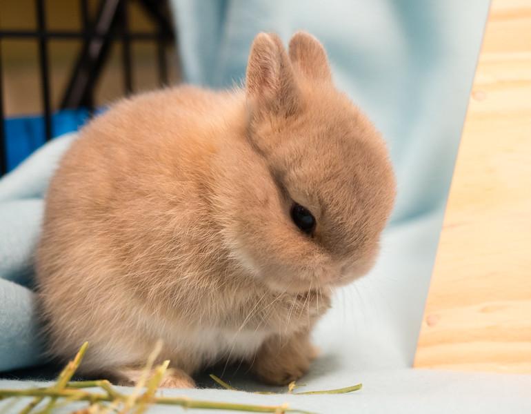 Baby Bunny Licking Paw  (photo #11943)