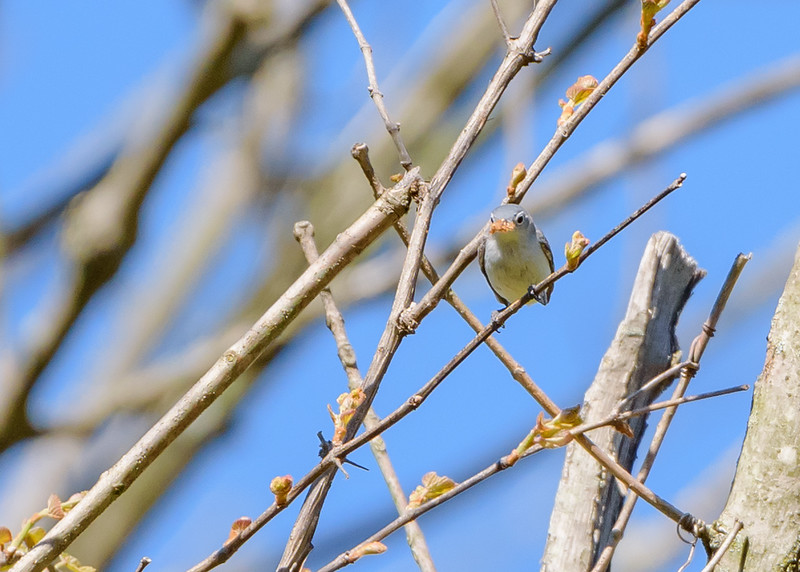 Blue-gray Gnatcatcher at Eagle Creek Park, Indianapolis, IN