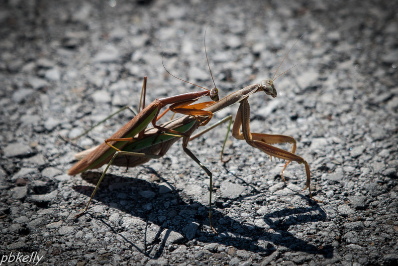 "10-12.  Mantids in the driveway at Old Woman Creek.  ""Why Don't We Do it in the Road?"""