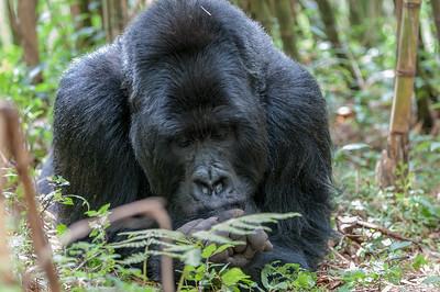 Rwanda Gorillas_2012