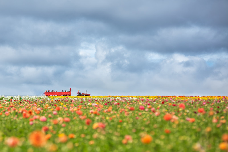 Carlsbad Flower Fields _ March