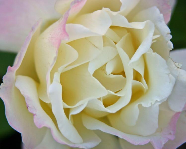 030 White Rose 2.jpg