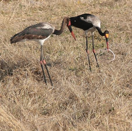 Stork Botswana 2008 1010