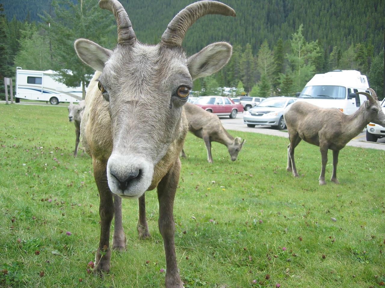 A Jasper goat
