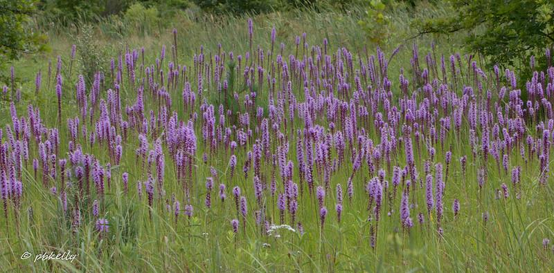Liatris can transform a meadow into a blaze of purple in July