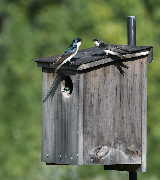 Tree Swallow Family Feud