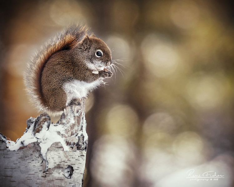 ReneFisher_Squirrel_Canvas_16x20-Edit_Animal_0112_19.jpg