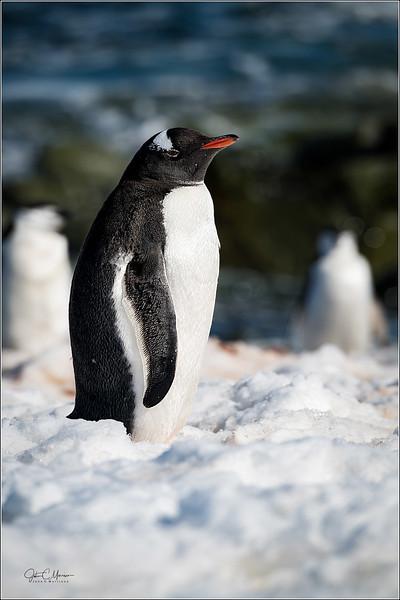 J85_6202 Gentoo Penguin LPTW.jpg