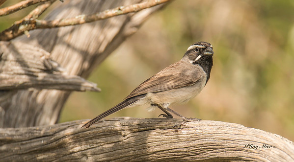 Black-throated Sparrow_DWL9655.jpg