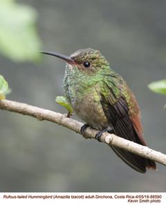 Rufous-tailed Hummingbird A88590.jpg