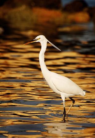 Egypt Egret
