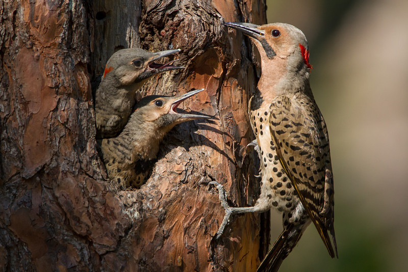 Northern Flicker feeding young