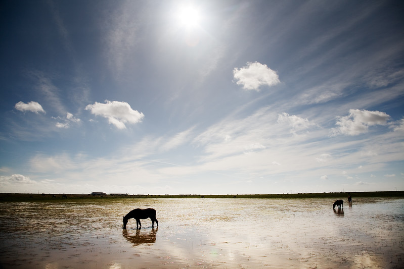 Horses grazing freely on Doñana marshland, Andalusia, Spain
