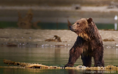 Grizzly dominance