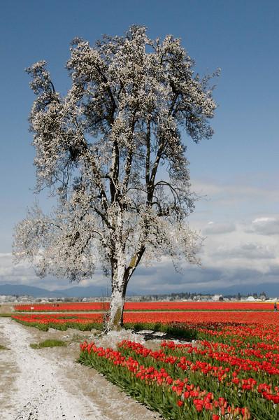 skagit_valley_tulips_2008_300_06003_silver_sentinal-sm.jpg