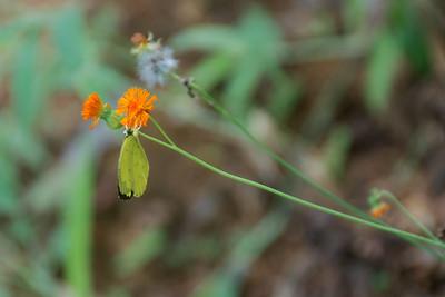 Witje (Eurema hecabe)