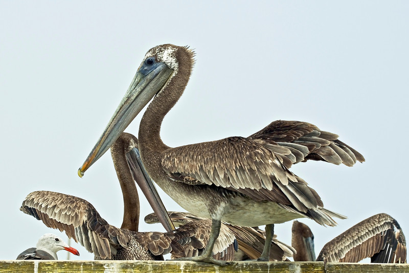 Pelican-EHSlough-Update-June-'10.jpg