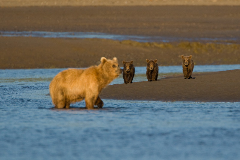 Golden and Three Cubs Blur.jpg