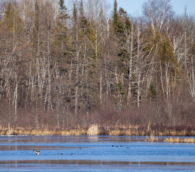 Hooded Merganser males Stone Lake Road Sax-Zim Bog MN  IMGC5547.jpg