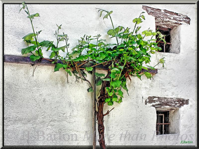 Grape Vines on a barn wall in Lower Austria