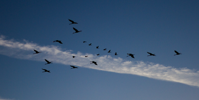 Sandhill Crane flock flying flight Sherburne National Wildlife Refuge Sherburne County MNIMG_1752.jpg