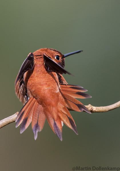 Rufous Hummingbird stretching