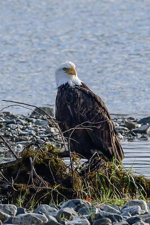 11-22-17 Bald Eagles & A Few Swans - Harrison Mills