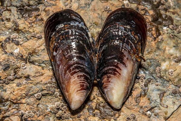 Mytilus californianus - California mussel (USA)