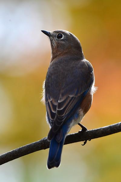 Bluebird Female (618).JPG