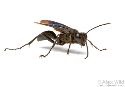 Sphex pensylvanicus, the great black wasp, one of the largest and most common insects in North America.  Urbana, Illinois, USA