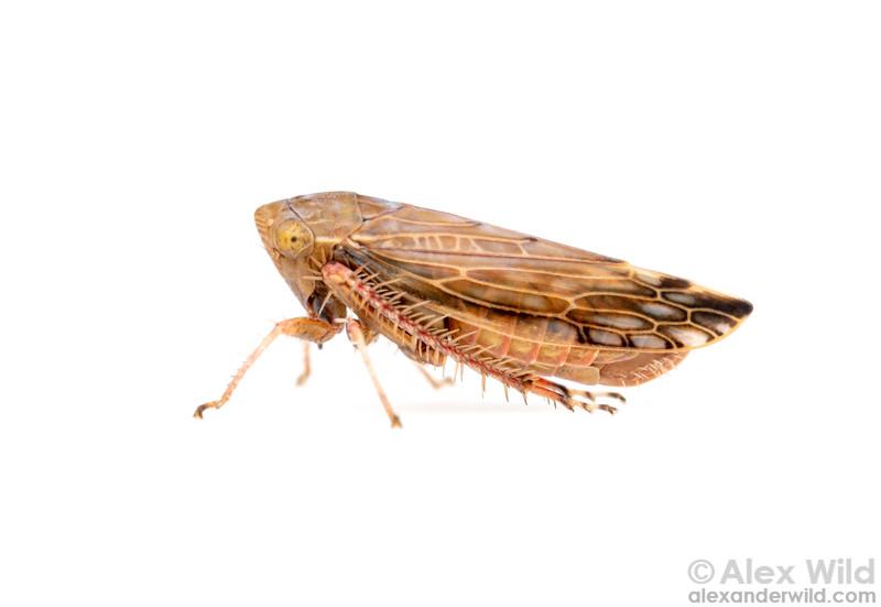 Acinopterus angulatus