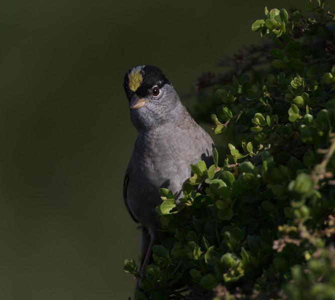Golden-crowned Sparrow Batiquitos 2019 04 18-1.CR2