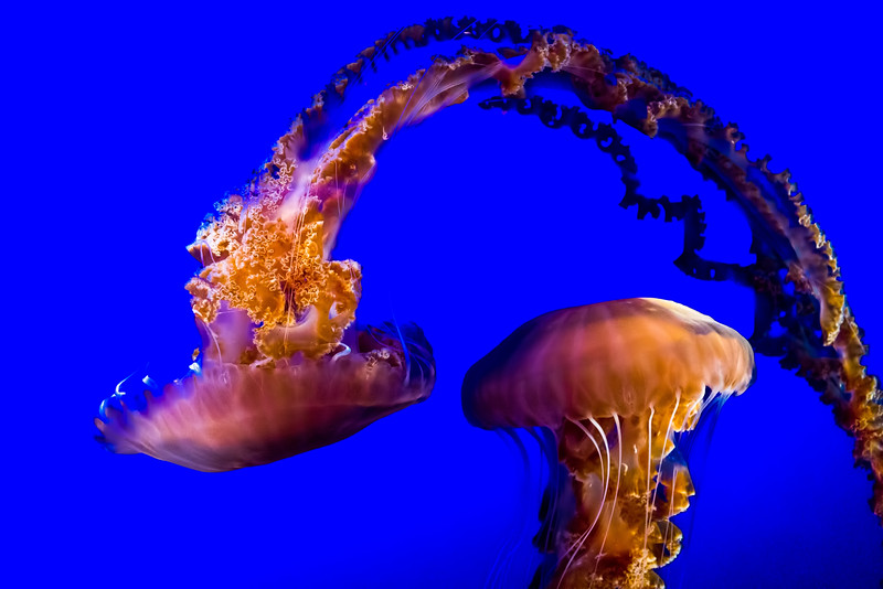 Dancing Jellies [Pacific Sea Nettles]