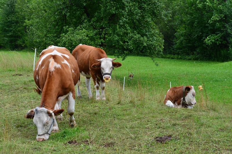 Cows. Rudnica Trail (route 22)
