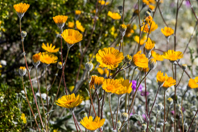 Nice mix of desert sunflowers and other wildflowers
