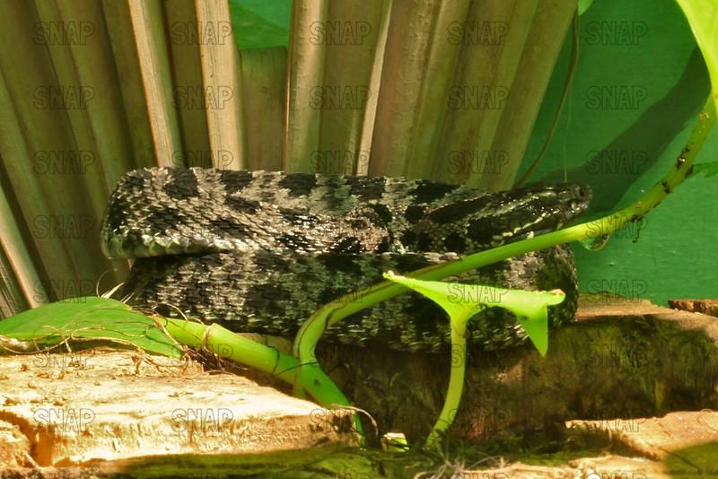 Dusky Pigmy Rattlesnake