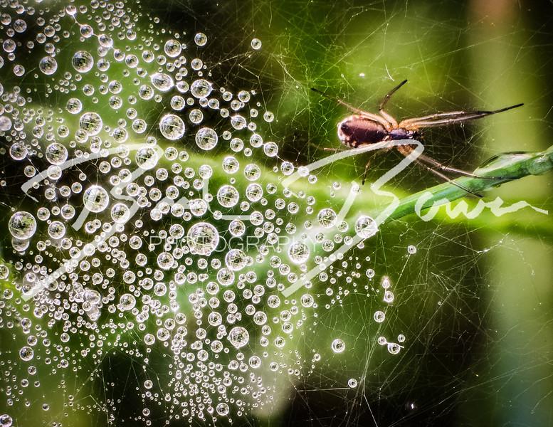 SpiderInTheDew.jpg
