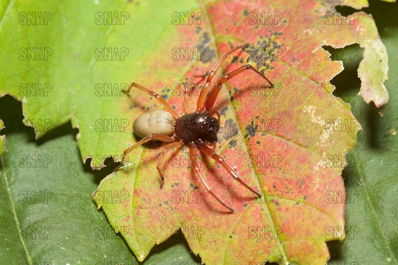 Broad-Faced Sac Spider