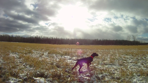 Pointing Dog Field Training