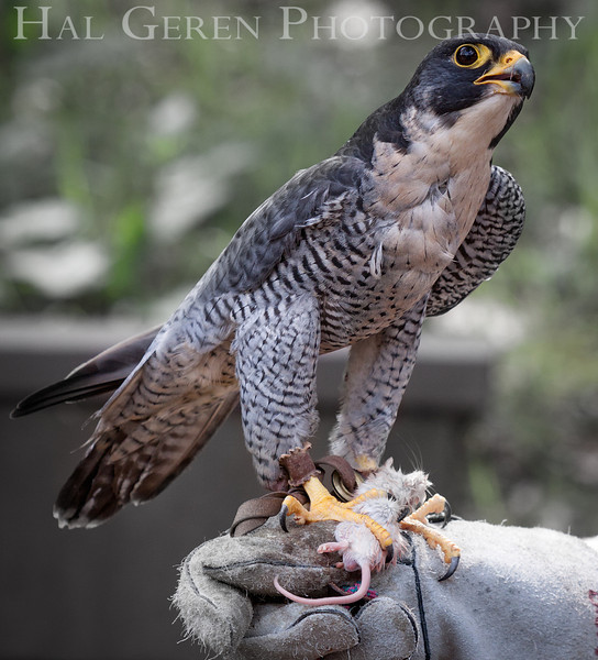 Peregrine Falcon Hayward, California 1303S-PF8EM